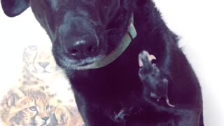 Gentle Dog Helps Owner By Acting As Baby Opossum's Guardian