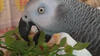 Parrots eyes are pinning with excitement for blueberries