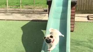 Collab copyright protection - brown pug red collar green slide - Video