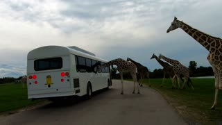 Herd of majestic giraffes take a serious interest in tourist bus