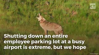 Single Coyote Shuts Down Liberal Utopia - Video