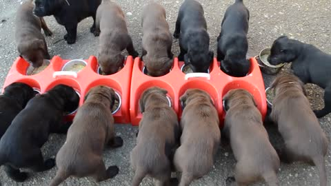 How to feed 14 little puppies in one go