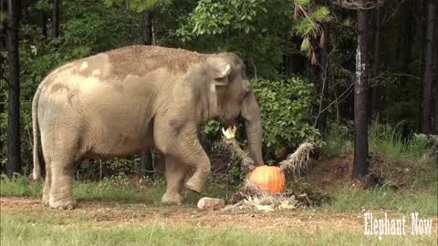 This elephant prefers this food in the morning