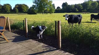 Border Collie meets cow, instant friendship ensues