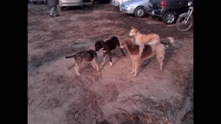 Four dogs play fight with each other  - Video
