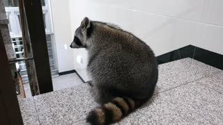 The raccoon was upset with his sister after taking a walk.