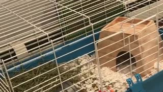Guinea pig freaking out in cage - Video