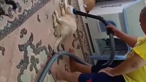 Unique cat loves to be vacuumed every morning
