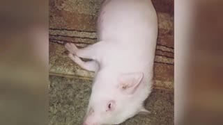 Pig gets brushed by owner while laying on carpet - Video