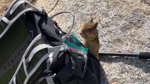 Bold chipmunk steals food right from hiking pack