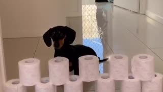 Mini sausage dog does the toilet paper challenge!