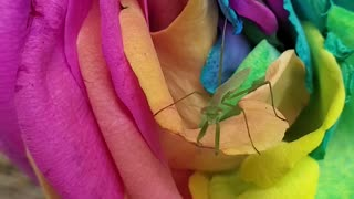 Baby mantis cleaning itself on beautiful rainbow rose