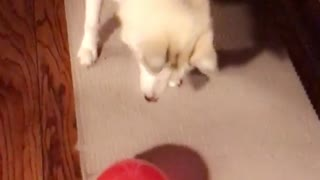 Dog chases balloon until it pops