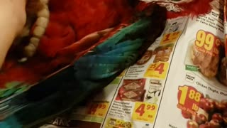 Green Macaw Loves Belly Scratches