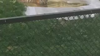 Tiger in Zoo  - Video