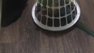 Sam the Parrot gets stuck underneath basket