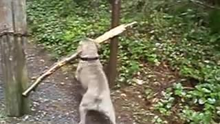 Dog with big stick! - Video