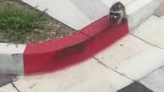 A baby raccoon versus a boxer and its human - Video