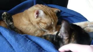Cats snuggle under blanket during cold weather