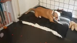 Crazy dog obsessed with popping every single balloon