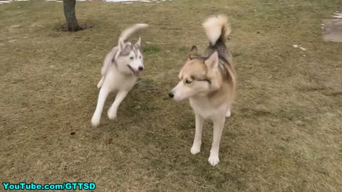Flying Husky Puppy
