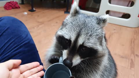 The raccoon has been eating its feed for less than 10 minutes, and it asks for it again.