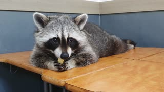 Raccoon wakes up from his sleep and eats snacks with his brother.