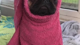 Pug puppy stays warm and dry after bath time