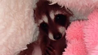 Ruby the Baby Raccoon Nestled in Bed