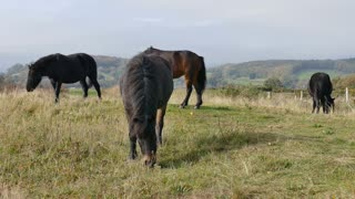 the black horses were serenely eating the grass