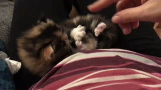calico Persian kitten playing - Video