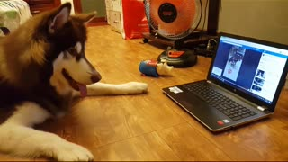 husky call video with friend  - Video