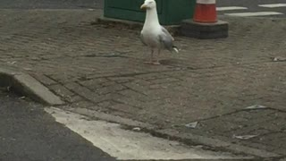 Seagull having a little dance!  - Video