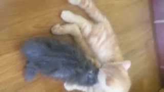 Lovely two kittens cuddling and kissing