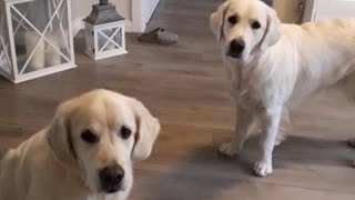Golden Retrievers fetch shoes for their owner