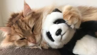 Sleepy Cat Spooning With Her Favorite Stuffed Panda Toy