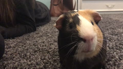 Guinea pig makes super cute sounds for the camera