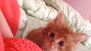 Small brown and orange kitten on bed comes close then jumps at camera - Video
