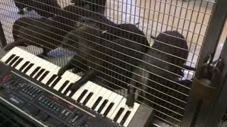 Otters and an orangutan get musical - Video