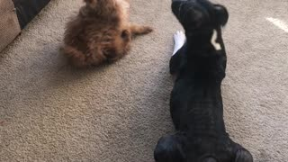 Puppy playing with Pit