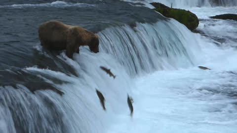 Grizzly Bear Demonstrates Expert Salmon Fishing Skills