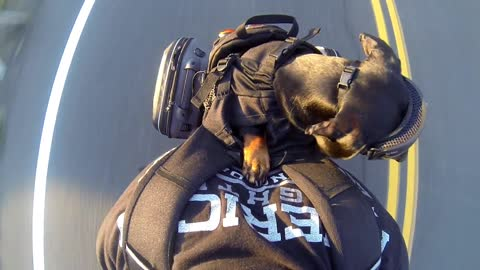 Fearless pup goes for motorcycle ride on back of owner
