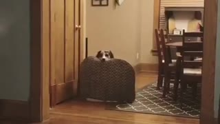 Brown dog carries welcome mat into wooden kitchen - Video
