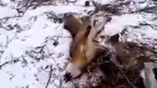 Grey Fox Caught In Trap.....Very Mean And Dangerous, Happy Ending!  - Video