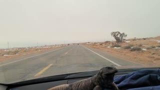 Larry the Dash Riding Chuckwalla