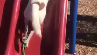 White dog with brown spots struggles to climb up red slide - Video