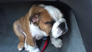 Adorable puppy falls asleep while sitting - Video
