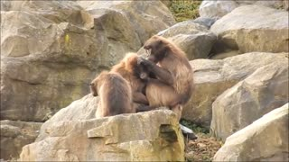 Mad Monkey Mother Picking Insects From Her Son Hair