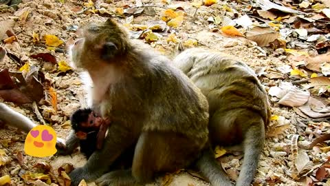 Why mother raise baby monkey and thank for give milk feeding