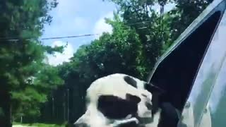 Black and white dog sticks head out window on country road